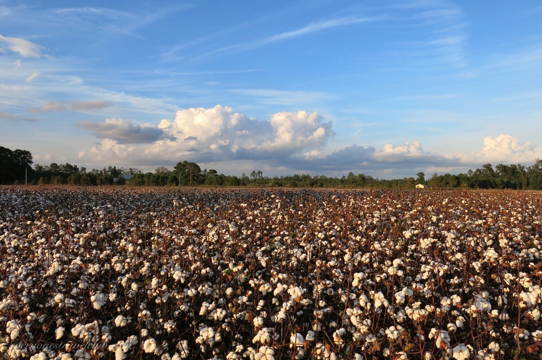 A cotton field in full bloom in Eastern North Carolina