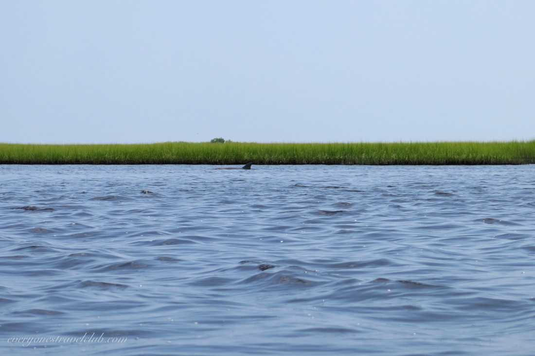 Dolphin in the ICW at Hammocks Beach State Park