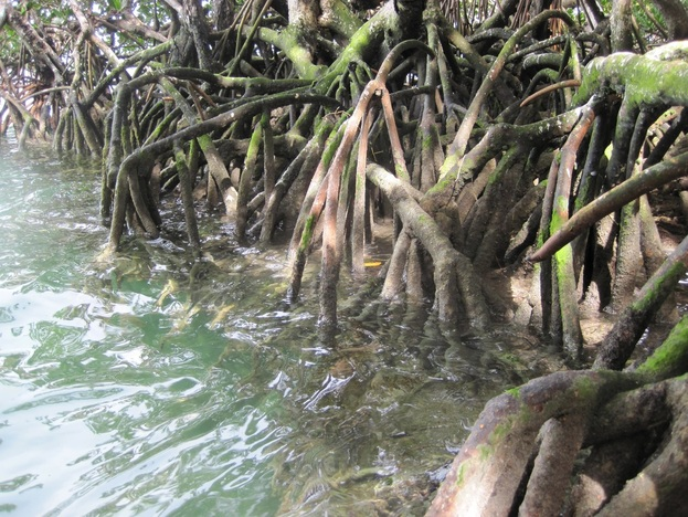 Views of the mangroves paddling in the Florida Keys