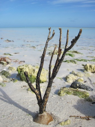 Dead coral on the beach in the Florida Keys