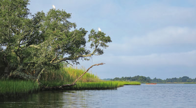 Egrets in a tree at the Permuda Island Reserve