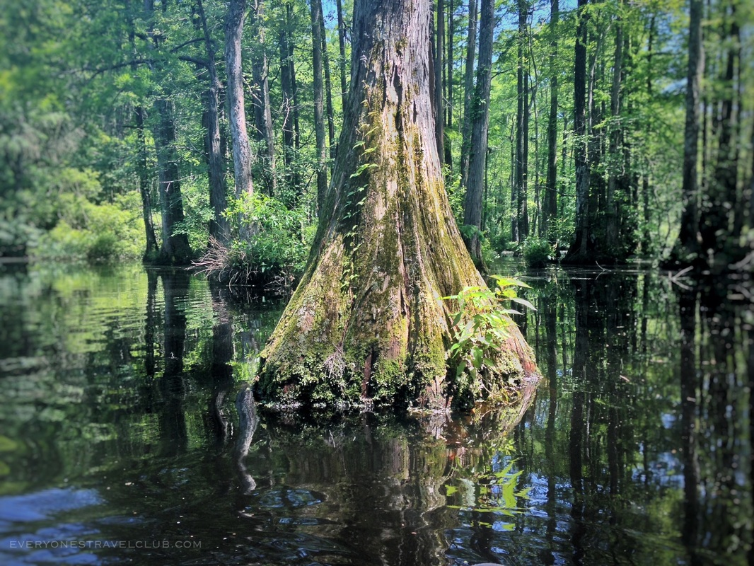 A cypress tree in the waters near Brock's Mill